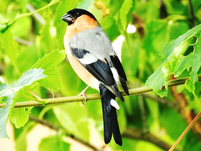 Animal Wildlife Bird Animals In The Wild Tree One Animal Nature Leaf No People Beauty In Nature Outdoors Animal Themes Gimpel Rot Vogel Vögelchen