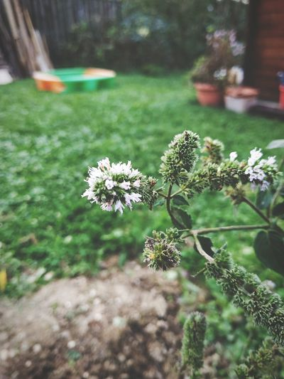 Peppermint Plant Mint Plants Flower Flower Head Close-up Plant Grass Green Color In Bloom Flowering Plant Plant Life Blossom Blooming Botany