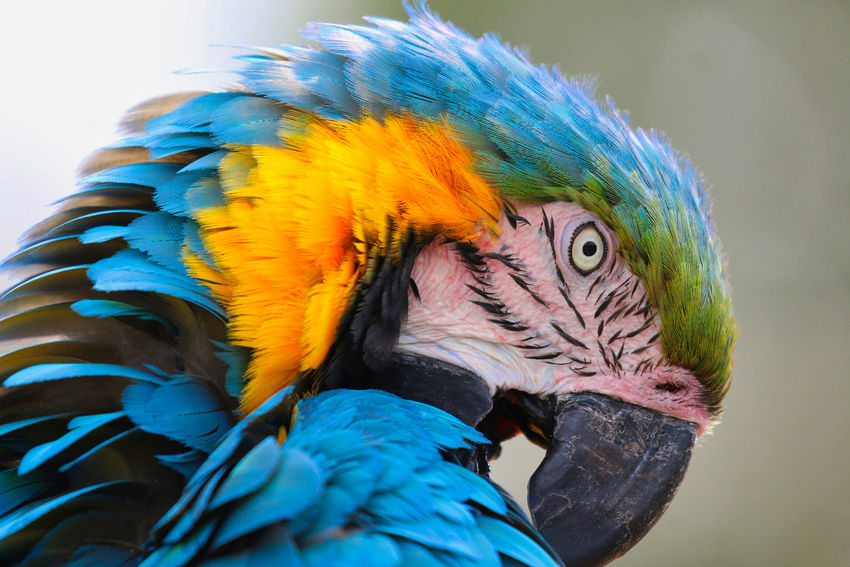 Macaw head portrait Animal Animal Body Part Animal Eye Animal Head  Animal Themes Animal Wildlife Animals In The Wild Beak Bird Blue Close-up Day Focus On Foreground Gold And Blue Macaw Macaw Multi Colored Nature No People One Animal Parrot Vertebrate