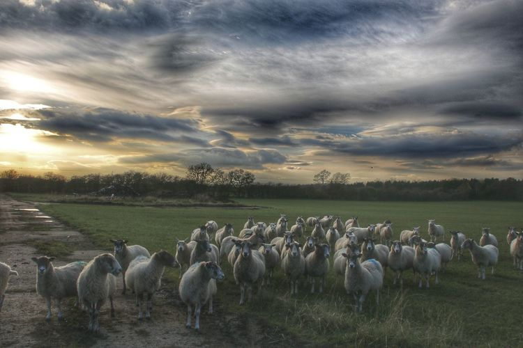 EyeEm Best Shots EyeEm Selects Sheep Sunset Flock Of Sheep Rural Scene Togetherness Agriculture Grazing Tree Forest Field Pasture Domestic Cattle Paddock Dramatic Sky Livestock Tag Storm Cloud Atmospheric Mood Farmland