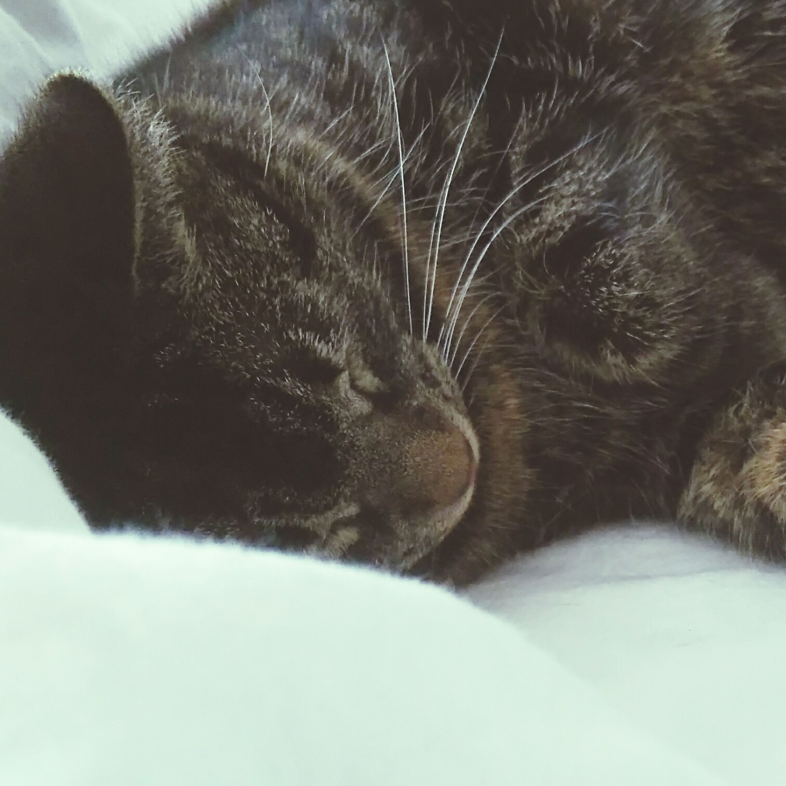 animal themes, one animal, pets, domestic animals, mammal, domestic cat, cat, feline, indoors, relaxation, close-up, whisker, animal head, sleeping, resting, animal body part, lying down, eyes closed, no people, zoology