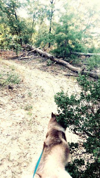 On A Hike Husky Happy4thOfJuly Placid  Florida