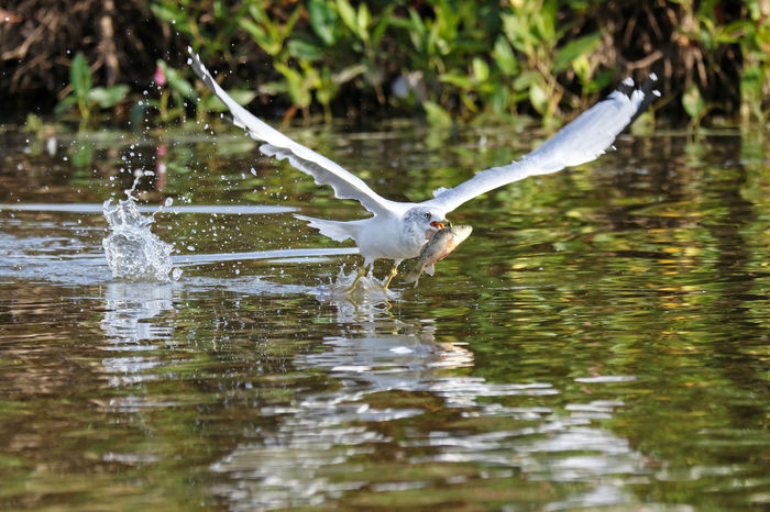 Ring-Billed Gull With Fish EyeEm Nature Lover Animal Themes Animal Wildlife Animals In The Wild Beauty In Nature Bird Catch Of The Day Day Fish Flying Motion Nature No People One Animal Outdoors Ring-billed Gull Spread Wings Water Waterfront