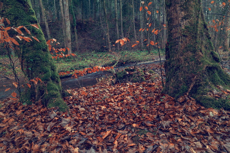 River in the forest in autumn. Art Beauty In Nature Backgrounds Tree Forest Land Autumn Plant Part Plant Nature WoodLand Leaf Tree Trunk Trunk Change Day Environment Landscape No People Tranquility Mammal Non-urban Scene Outdoors Leaves
