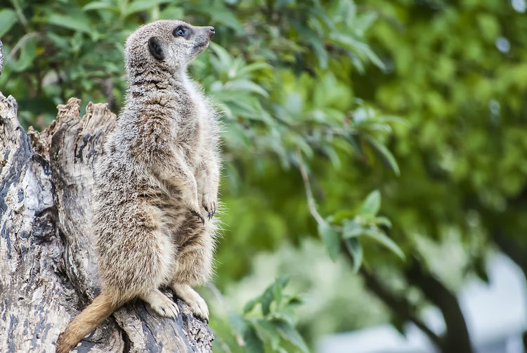 On watch Watching On Watch Meerkat Wildlife Nature Animal Tree Leopard Camouflage Portrait Close-up