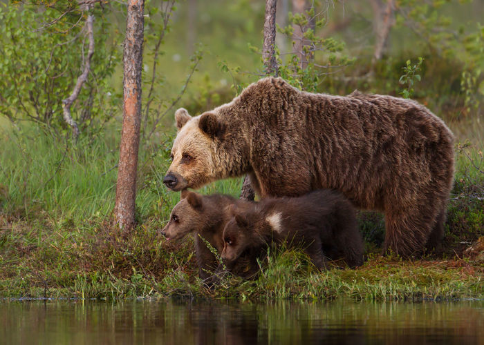 Bear family by lake in forest