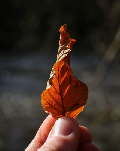 Cropped hand holding dry leaf during autumn