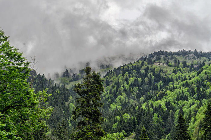 Beautifully Organized Beauty In Nature Check This Out Evergreen Tree Fog Foggy Forest Freshness Landscape Lush Foliage Mountain Nature Pinaceae Pine Tree Pine Wood Pine Woodland Tree Turkey Turkishfollowers Yedigoller Yedigöllermilliparkı
