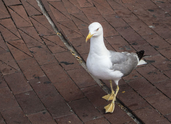 High angle view of seagull on footpath