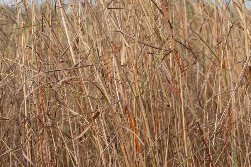 Dry Grass Plant