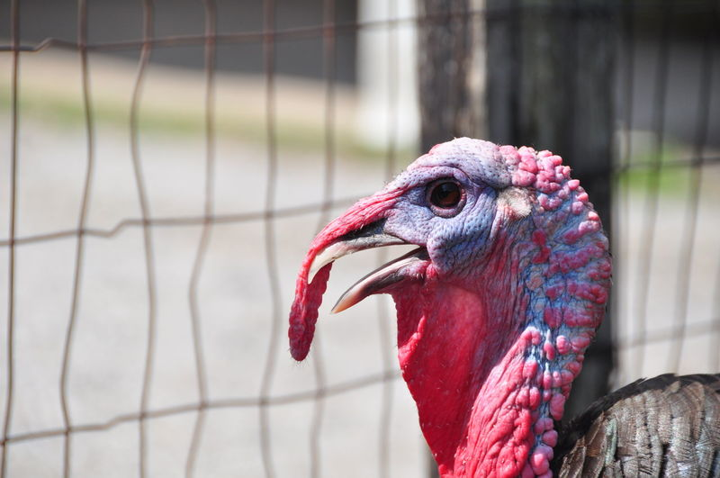 Close-up of turkey in cage