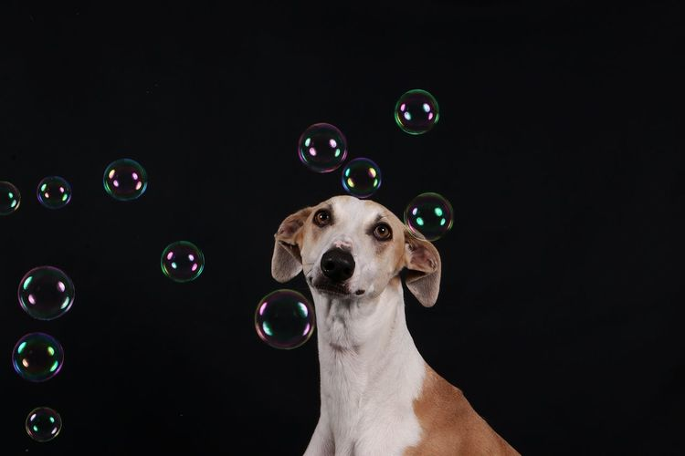 Portrait of dog by bubbles against black background