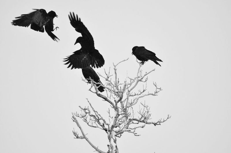 Blackandwhite Blackandwhite Photography EyeEm Best Shots Eyem Nature Lover Eyem4phptography Outdoor Photography Winter Snow ❄ Bird Animal Wildlife Animals In The Wild Flying Branch Animal Full Length Nature Outdoors Day Tree Spread Wings Raven - Bird Bare Tree Sky