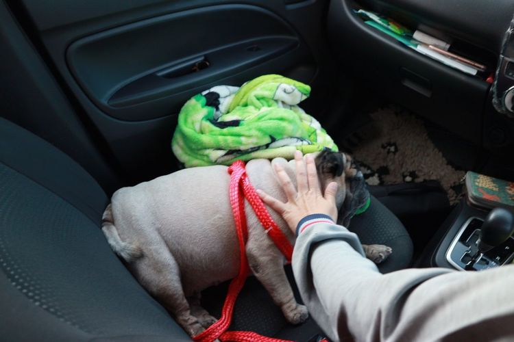 Human Hand Sitting Close-up Pets Vehicle Interior Car Interior Dog Feline Whisker Car Point Of View Passenger Seat Dog Lead Dachshund Pit Bull Terrier Rear-view Mirror Dashboard Windshield Vehicle Seat Train Interior Domestic Animals