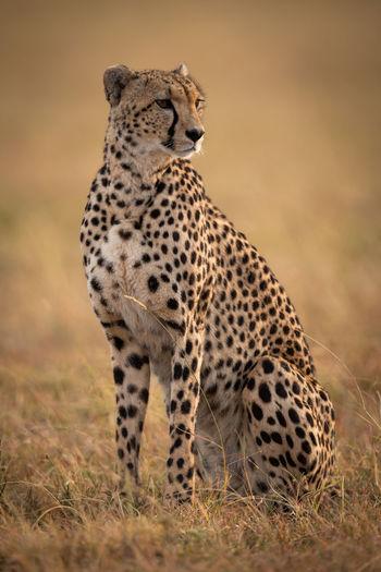 Cheetah sitting on field in zoo