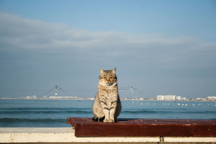 Big powerful beautiful gray cat sitting on the bench. in the background is the sea