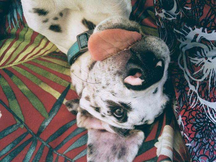 High angle view of a great dane puppy lying on bed