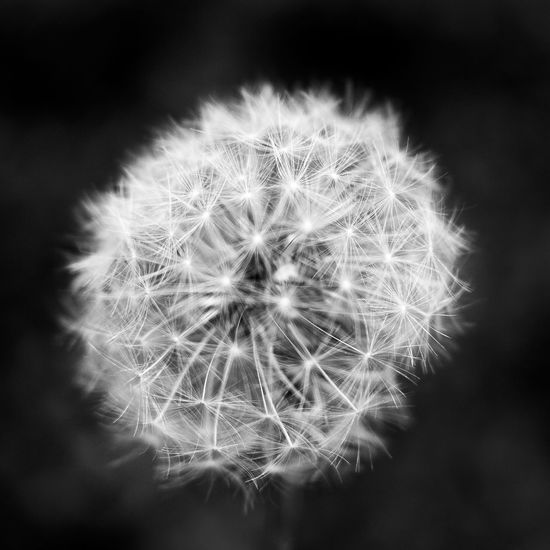 Dandelion seed Beauty In Nature Close-up Dandelion Dandelion Seed Day Flower Flower Head Fragility Freshness Growth Nature No People Outdoors Plant Seed Softness