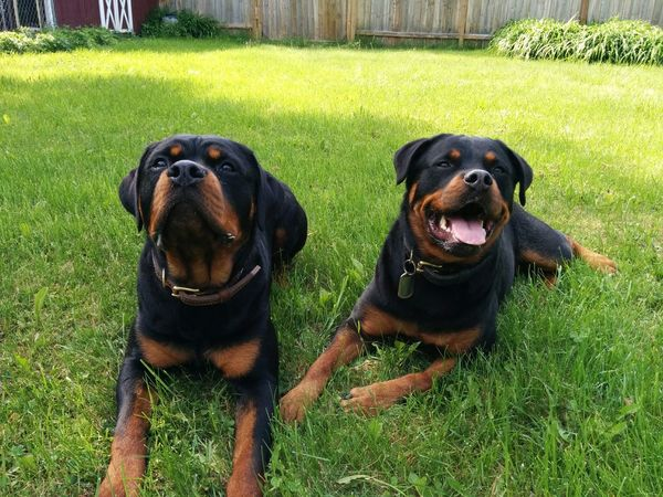 Czar and Eva enjoying a nice sunny day of training. Dog Rottweiler Training Awesome Dogs
