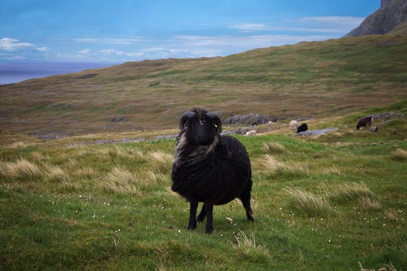 Wildlife in the Faroe Islands Animals In The Wild Wildlife & Nature Wildlife Photography Animal Animal Themes Animal Wildlife Day Domestic Animals Environment Field Grass Land Landscape Mammal Mountain Nature No People Outdoors Plant Sheep Sheepskin Sheep🐑 Sky Vertebrate Wildlife