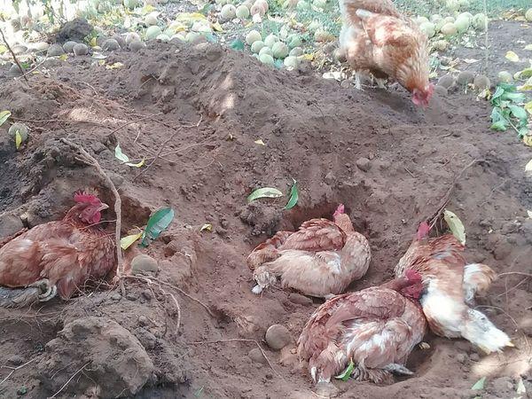 Chooks Chickens Hens Playing In The Dirt Isa Brown Dust Bath Farm Life Lucky Girls Soilwork Bridgetown Western Australia