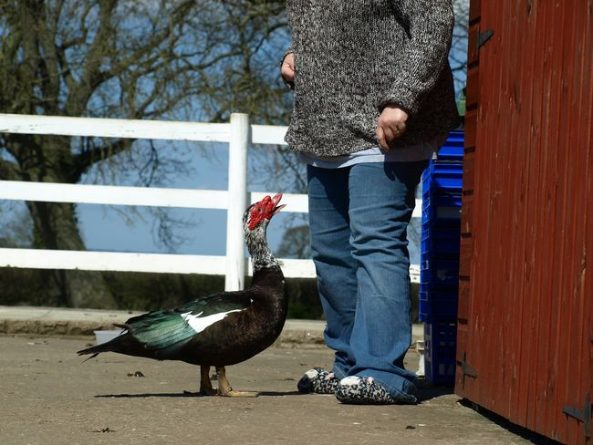 Muscovy duck waiting to be fed Feeding  Muscovy Duck Bird Casual Clothing Day Duck Ducks Feed  Lifestyles One Animal One Person Outdoors Real People Smallholder Smallholding Standing