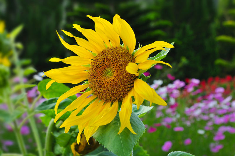 Sunflower Flower Yellow Fragility Petal Flower Head Plant Freshness Nature Beauty In Nature Growth Close-up Sunflower Outdoors Day