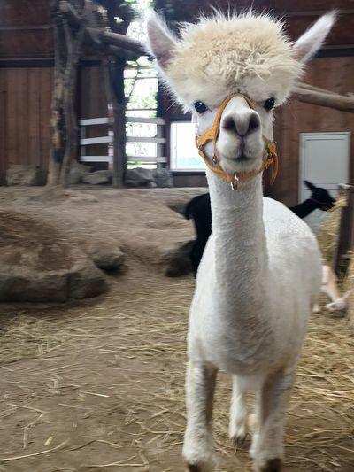 初アルパカ…目があった‼︎☻ アルパカ 動物 もふもふ 目がまん丸 かわいい