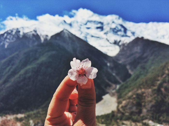 Close-up of hand holding cherry blossom against mountains