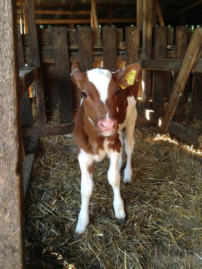 Calf Heifer Domestic Animals Animal Themes Mammal Livestock One Animal Cow Shed Hay Portrait Looking At Camera No People Standing Day Full Length Outdoors
