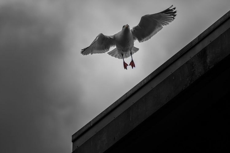 Low angle view of seagull of flying