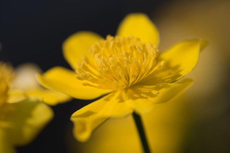 Buttercup Flowering Plant Flower Freshness Fragility Vulnerability  Yellow Beauty In Nature Petal Flower Head Inflorescence Close-up Plant Growth Nature Selective Focus Focus On Foreground No People Pollen Plant Stem Outdoors Springtime Softness Black Background Sepal