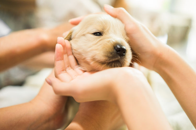 Cropped Hands Of People Holding Golden Retriever Puppy