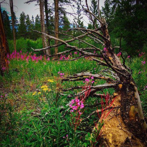 Deadtree Wildflower Wildflowers Landscape Colorado Photography Breckinridge Colors