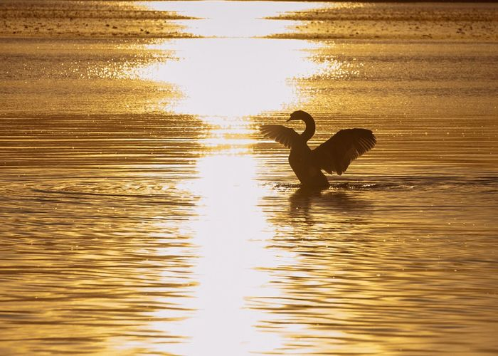 Swan Cigno Backlight Light And Shadow Sunset Controluce Silhouette Tramonto Lights And Shadows Animals Animal Themes Animal Photography Chiaroscuro  Contrast