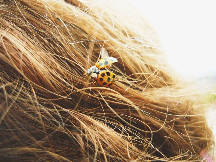 Animal Animal Photography Animal Themes Animals Beautiful Nature Beauty In Nature Bug EyeEm Nature Lover Flying Girl Hair Hairstyle Insect Insect Photography Ladybird Ladybug Nature Nature Photography Nature_collection Naturelover Naturelovers Naturephotography Soft Light Softness Sweet