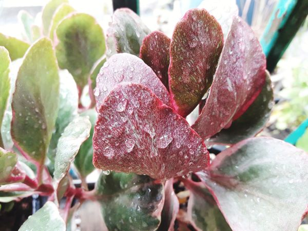waterdrop on kalanchoe tree Flaming Katy Natural Refreshing :) Tropical ASIA Waterdrops On Leafs Kalanchoe Beautiful Leaf Flower Head Red Leaf Wet Close-up Plant RainDrop Succulent Plant