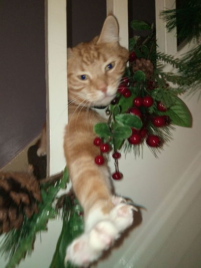 Seasons Greetings from the cat Christmas One Animal Pet Animal Themes Christmas Decoration Domestic Cat Home Interior Christmas Time Seasons Greetings Cat Ginger Cat Feline Male Cat Cat On The Stairs Cat Stretch Stretching Cat One Cat Red Berries Foliage Green Leaves Out Of Focus Action Movement Motion Paw
