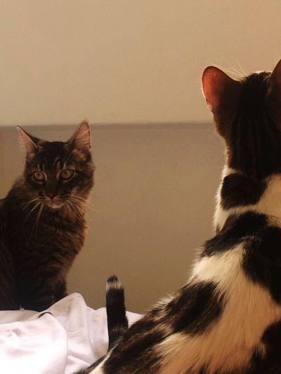 😼👏🏻❤️ Cat Domestic Domestic Animals Pets Domestic Cat Mammal Feline Sitting Portrait No People