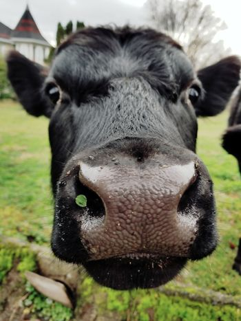 Cows New Friend Neighbor One Animal Domestic Animals Looking At Camera Grass Animal Livestock Focus On Foreground Close-up Animal Themes Mammal Agriculture Rural Scene Nature