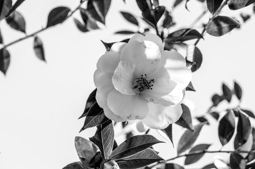 The flower in white Monochrome Light And Shadow Black And White Flower Flowering Plant Plant Growth Beauty In Nature Freshness Close-up Flower Head Leaf Focus On Foreground White Color Petal
