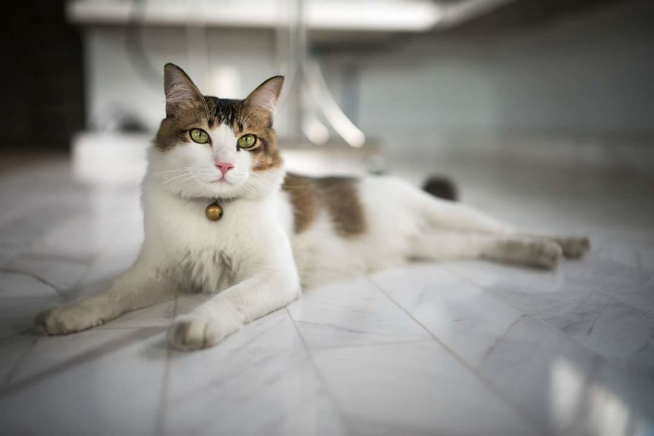 domestic cat, pets, domestic animals, feline, animal themes, one animal, indoors, looking at camera, mammal, no people, portrait, day, close-up