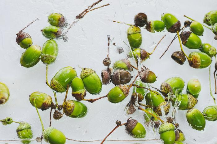 Frozen oak nuts Acorn Lietuva Lithuania Close-up Day Green Color Indoors  Kaunas Lastsummerdays Nature No People Oak Oaknuts Water ąžuolas ąžuologilės