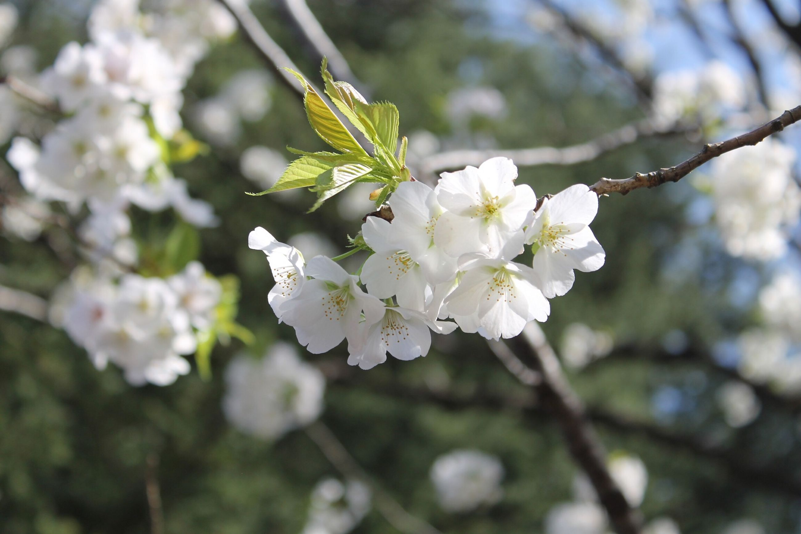 flower, freshness, branch, growth, tree, white color, fragility, cherry blossom, cherry tree, beauty in nature, blossom, focus on foreground, nature, apple blossom, petal, fruit tree, apple tree, close-up, blooming, in bloom