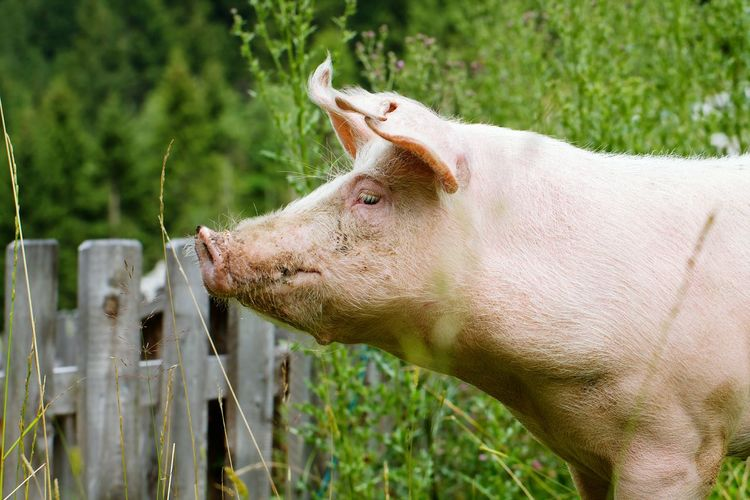 One Animal Animal Themes Animals In The Wild No People Day Close-up Mammal Outdoors Nature Pig Domestic Animals Farm Life Farming Farm Animals