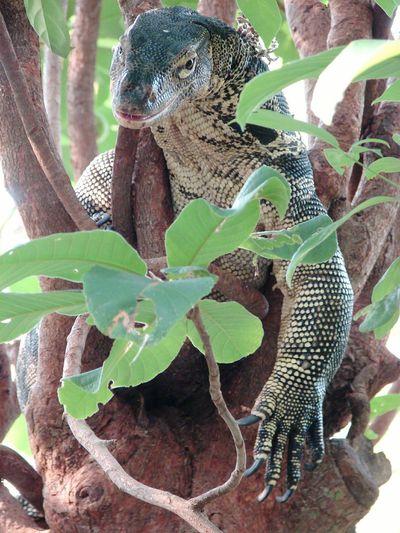 Nature Varan Reptile Reptile Photography Asian Reptile Cambodia