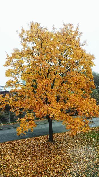 Die Blätter fallen und fallen Tree Laub Autumn Autumn🍁🍁🍁 Autumn Colors Herbst Herbstfarben Herbstblätter Jahreszeit Karlsruhe