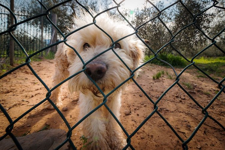 chaki One Animal Fence Animal Themes Chainlink Fence Domestic Animals Boundary Canine Dog Animal No People