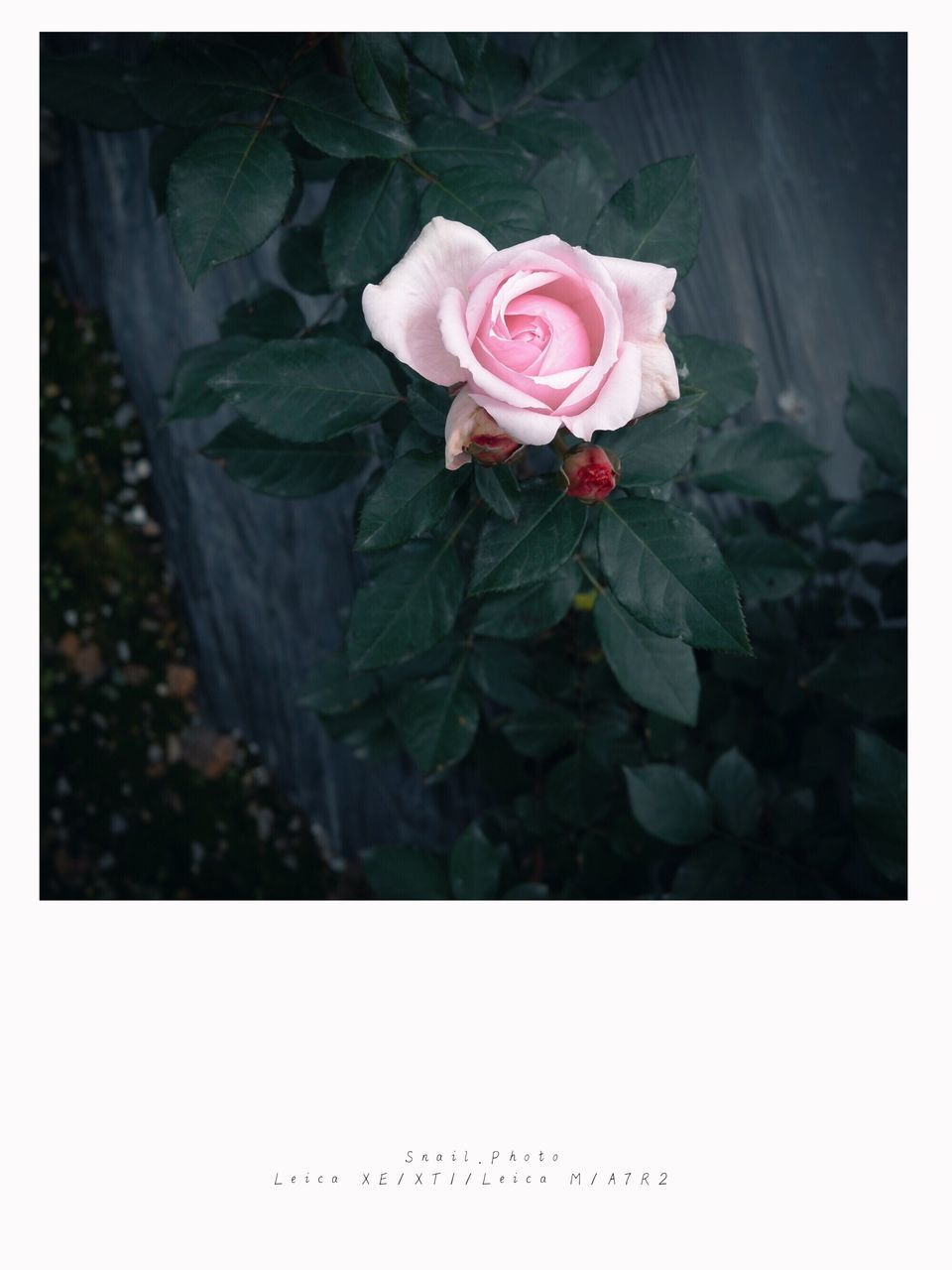 flower, rose - flower, growth, petal, nature, fragility, flower head, no people, plant, beauty in nature, outdoors, blooming, close-up, freshness, day