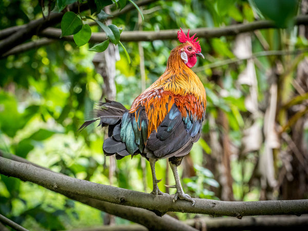 Animal Themes Beauty In Nature Bird Close-up Day Jungle Fowl Nature Wildlife